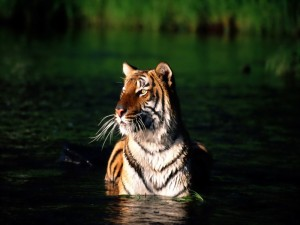 Бенгальский тигр на территории Сундарбана