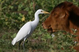 Египетская цапля - птица- «волопас»