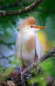 Египетская цапля в гнезде