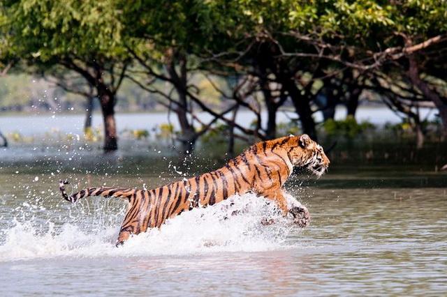 Мангровый лес Сундарбан - обитель бенгальских тигров