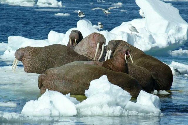 Миграции моржей