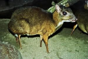 Мышиный олень