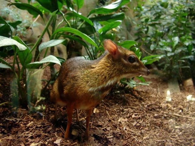 Мышиный олень - канчиль