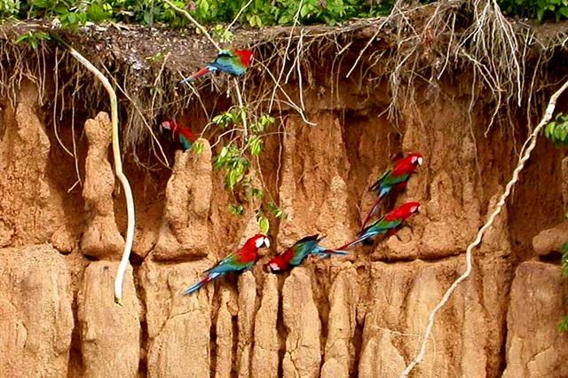 Попугаи ара из парка Ману
