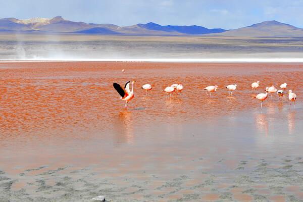 Достопримечательности Альтиплано - Розовые фламинго Лагуны Колорадо