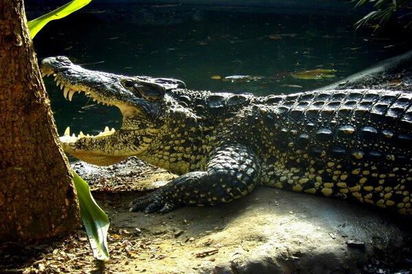 Животные и птицы Кубы с фото и описанием - Кубинский крокодил