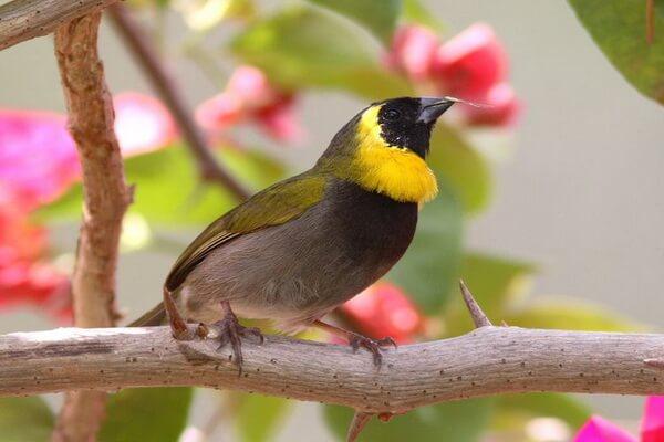 Животные и птицы Кубы с фото и описанием - Кубинский тиарис