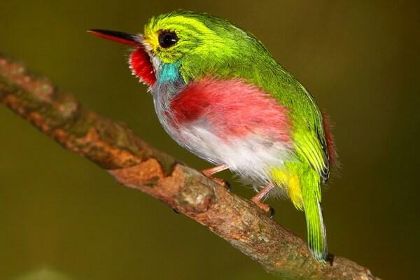 Животные и птицы Кубы с фото и описанием - Кубинский тоди