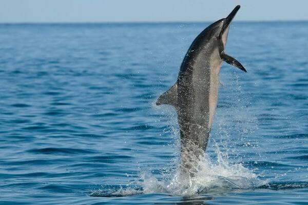 Животные и птицы Кубы с фото и описанием - Длиннорылый продельфин (Вертящийся дельфин)