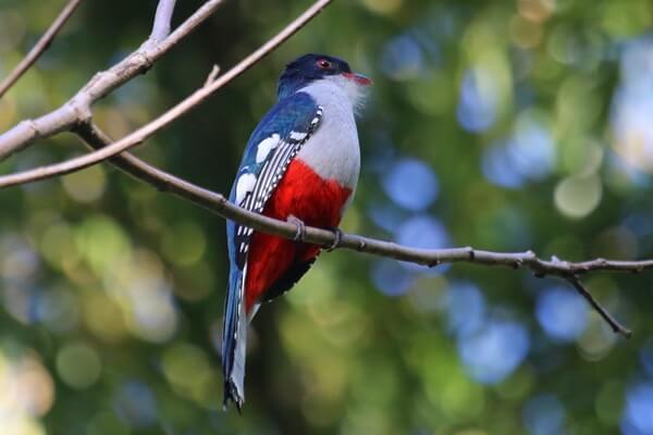 Животные и птицы Кубы с фото и описанием - Кубинский трогон