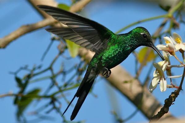 Животные и птицы Кубы с фото и описанием - Кубинский изумрудный колибри