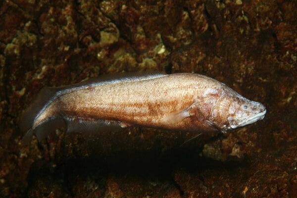 Животные и птицы Кубы с фото и описанием - Рыба люцифуга