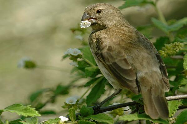 Птицы Галапагосских островов - Галапагосские вьюрки Дарвина