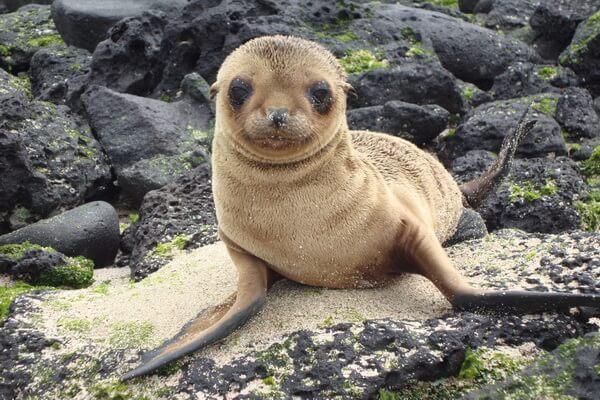 Животные Галапагосских островов - Галапагосский морской котик