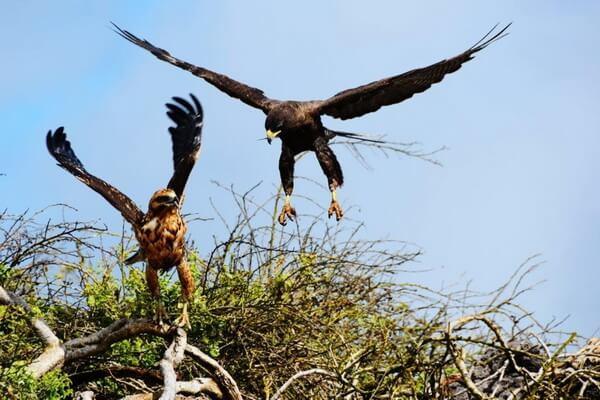 Птицы Галапагосс - Галапагосский канюк или сарыч