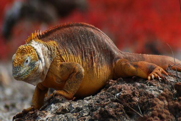 Животные Галапагосс - Обыкновенный конолоф или галапагосская земная игуана