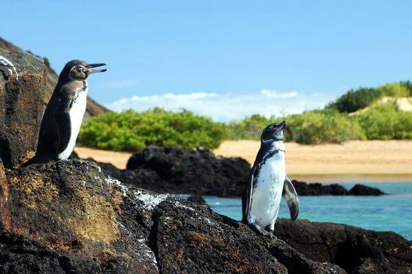 Птицы Галапагосских островов - Галапагосский пингвин