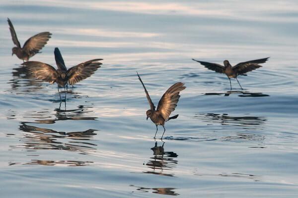 Птицы Галапагосских островов - Галапагосский тайфунник
