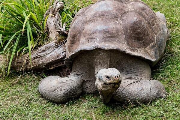 Животные Галапагосских островов - Галапагосская слоновая черепаха
