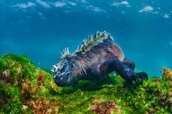 Ящерицы Галапагосских островов - Морская игуана
