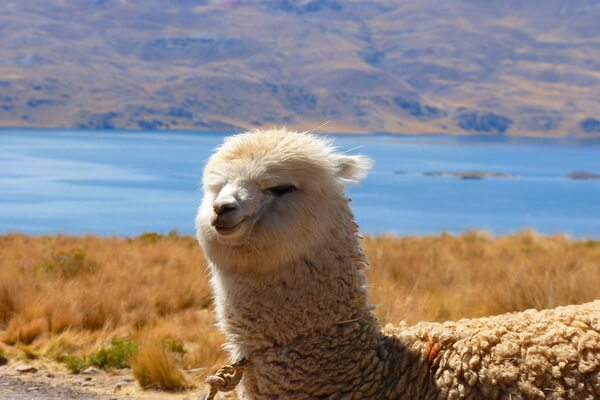 Животный мир Анд - Альпака