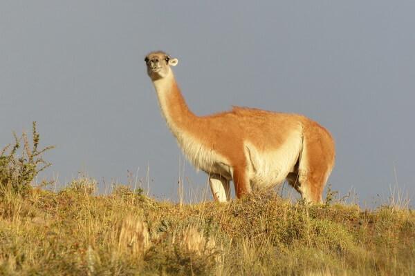 Животные гор Анды - Гуанако
