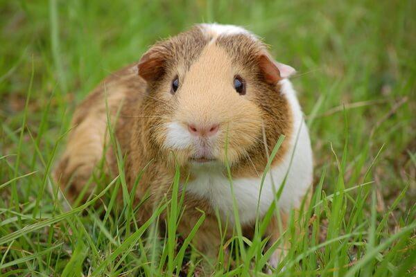 Животные Анд - Морские свинки