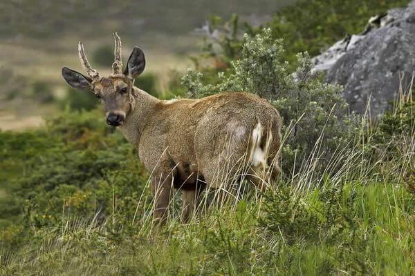 Животные гор Анды - Южноандский олень