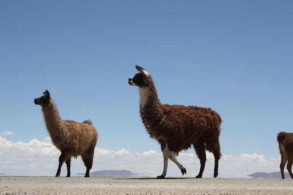 Вьючные животные Анд - Ламы