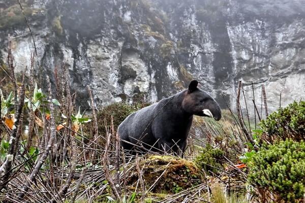 Животный мир Анд - Горный тапир