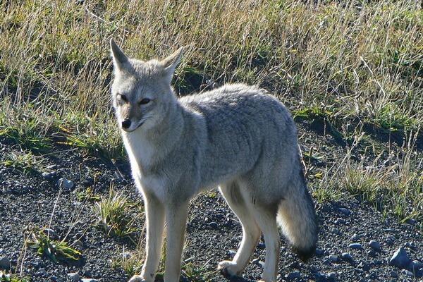 Животный мир Анд - Южноамериканская серая лисица