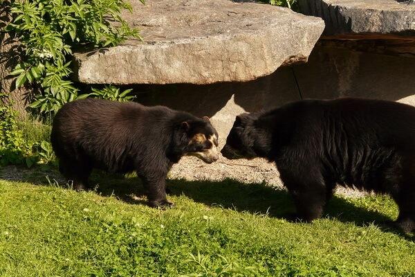 Животный мир Анд - Очковый (андский) медведь