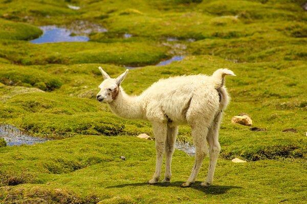 Животный мир Анд - Викунья