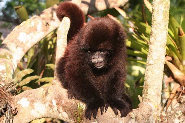 Животные Анд - Желтохвостая обезьяна