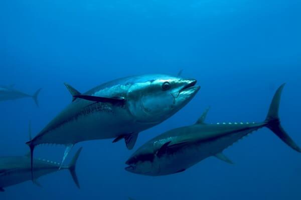 Животные Атлантического океана - Обыкновенный тунец