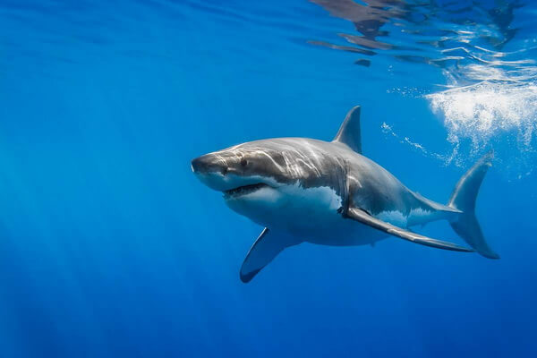 Фауна Атлантического океана - Большая белая акула