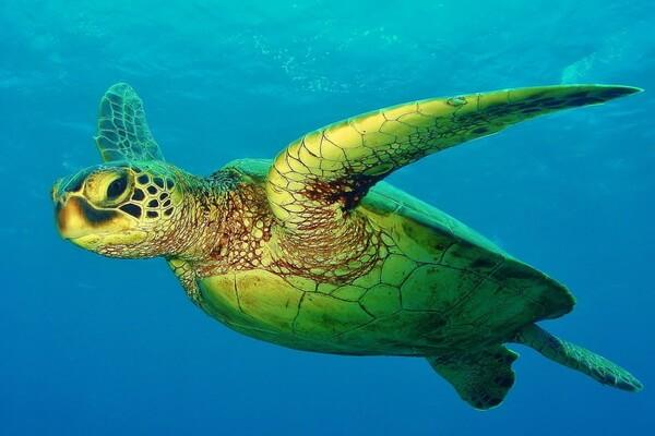 Фауна Атлантики - Атлантическая зелёная черепаха