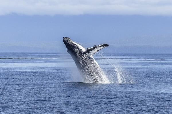 Животные Атлантического океана - Горбатый кит