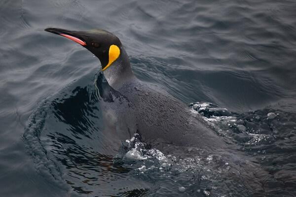 Животные Атлантического океана - Королевский пингвин