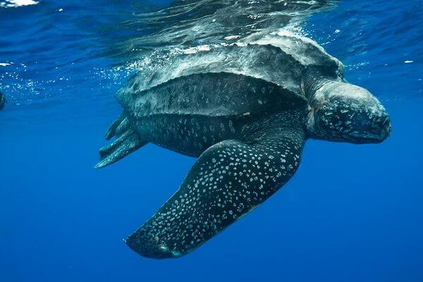 Животные Атлантического океана - Кожистая морская черепаха