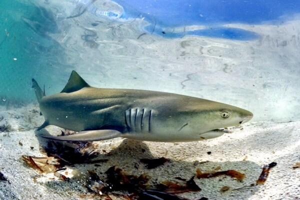 Фауна Атлантического океана - Лимонная акула