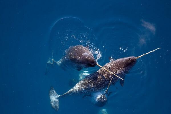 Животные Атлантического океана - Нарвал