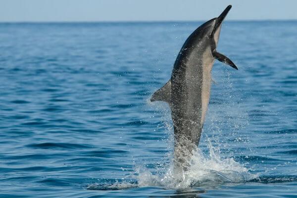 Фауна Атлантического океана - Длиннорылый продельфин