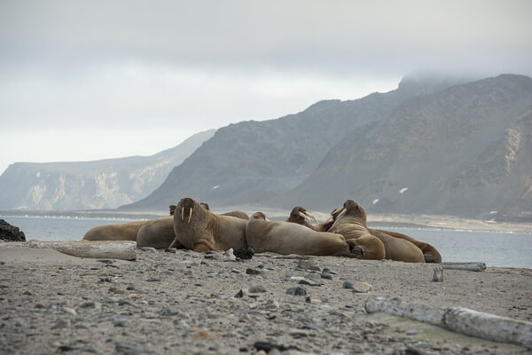 Животные Атлантического океана - Моржи