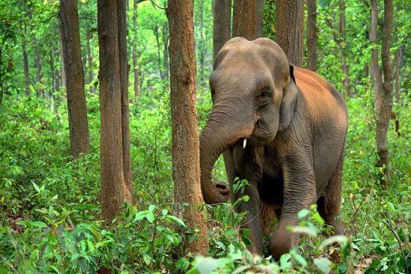 Животные, живущие в Китае - Азиатский или индийский слон