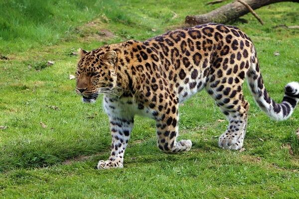 Животный мир Китая - Дальневосточный леопард или амурский барс