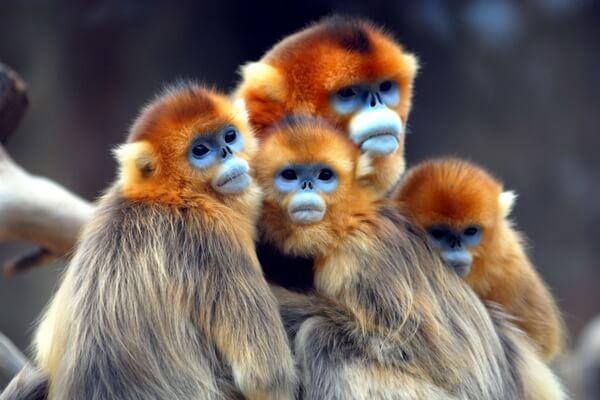 Животные Китая с фото и описанием - Рокселланов ринопитек