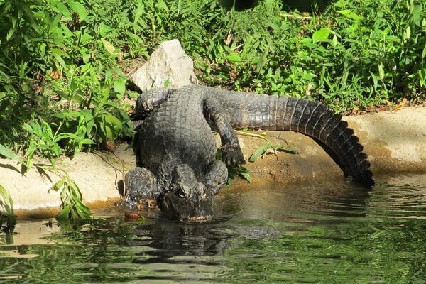 Животные Китая с фото и описанием - Китайский аллигатор