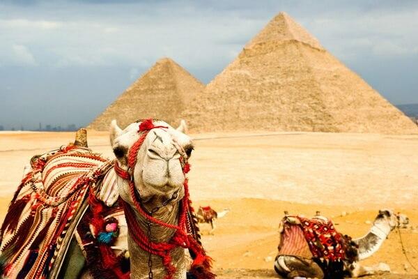 Животные Египта с фото и описанием - Верблюды