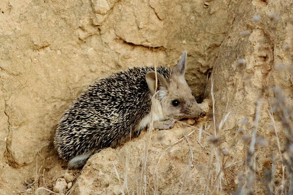 Животные Египта с фото и описанием - Ушастый ёж